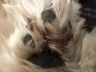 A dog's foot with long hair hiding her pads